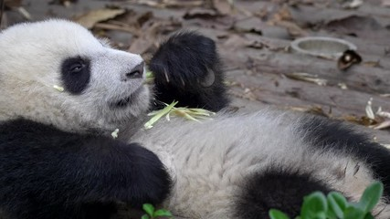 Wall Mural - Funny baby panda shot in Chengdu, China. A young adorable giant panda lying on its back relaxed and eating bamboo lazily. UHD