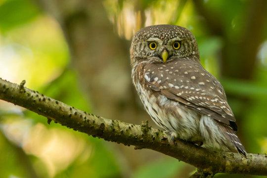 Eurasian Pygmy Owl / Glaucidium passerinum