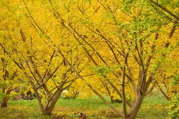 銀杏の木~Ginkgo tree