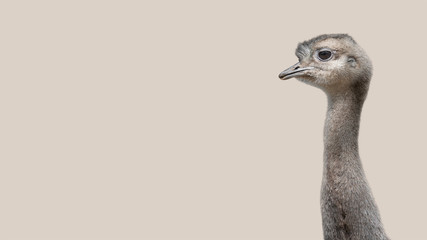 Young and funny Patagonian ostrich Rhea isolated at smooth background, details, closeup