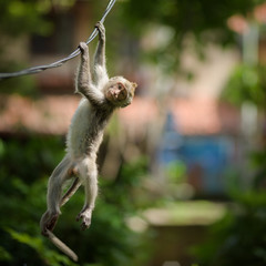 A young long-tailed macaque monkey is hanging from a wire in the balinese Hindu temple of the sacred Ubud Forest in Bali, Indonesia.