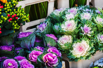 ornamental cabbages in a flower shop