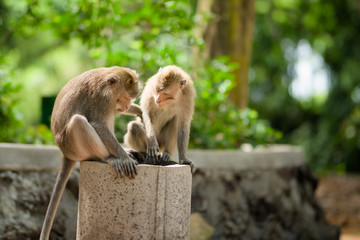 Two adult male Long-Tailed macaque monkeys inspect a pipe in Ubud Sacred Forest, Bali, Indonesia.