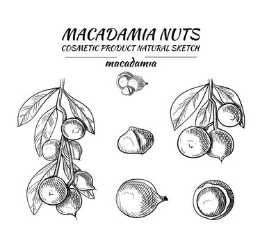 Vector Macadamia Nuts Sketches Collection, Black Outline Drawings, Isolated.
