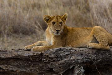 Lions of the Serengeti - 2134