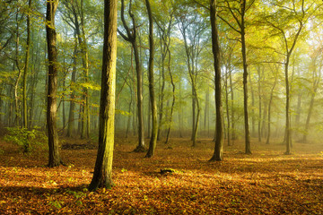Sunny Natural Forest in Early Autumn with some Morning Fog