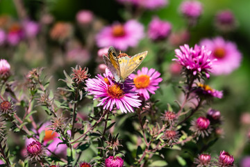 Wall Brown Butterfly on New England Aster Flowers