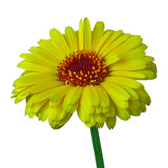 flower yellow carmine calendula, isolated on a white  background. Close-up. Flower bud on a green stem.