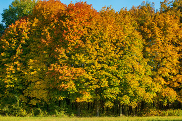 Colorful autumn background with solid wall of deciduous forest with a huge diversity of foliage color
