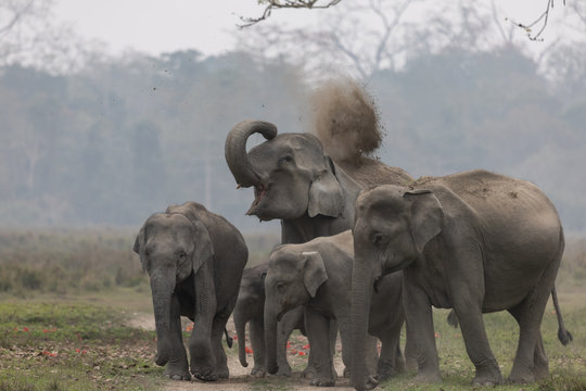 Asian elephant (Elephas maximus)...dust bath with family at Kaziranga National Park, Assam, India