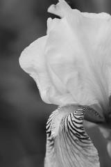 beautiful delicate iris, macro