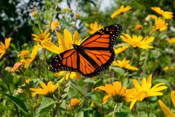 An orange butterfly find nectar on sunflowers in a wild prairie garden