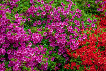 purple and red azalea bushes