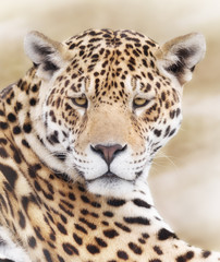 Wall Mural - Portrait of powerful leopard focusing on target