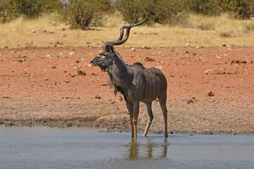 Poster Antelope Sambesi-Großkudu (Tragelaphus strepsicerus) am Wasserloch Okawao im Etosha Nationalpark (Namibia)
