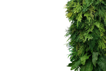Wall Mural - Tropical leaves foliage plant bush, vertical green wall nature backdrop border on white background with clipping path.