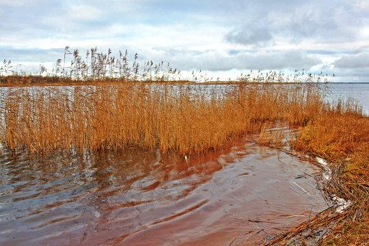 Great Manna Grass in winter