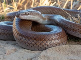 Brown House Snake (Boaedon capensis)