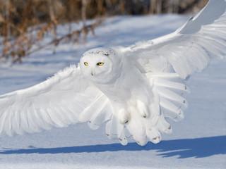 Zelfklevend Fotobehang Uil Male Snowy Owl Landing on Snow Field in Winter