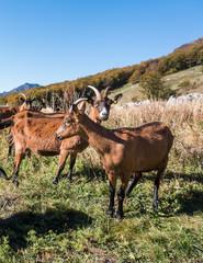 Portrait of a brown goat in meadow.