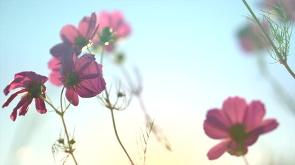 Fotoväggar - Cosmos flower blooming in a garden over sunset sky. Beautiful red flowers growing on field. Summer scene. Slow motion. 3840X2160 4K UHD video footage