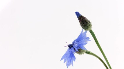 Fotoväggar - Cornflowers. Wild blue flowers opening, blooming closeup over white background. Wildflowers. Timelapse. 3840X2160 4K UHD video footage