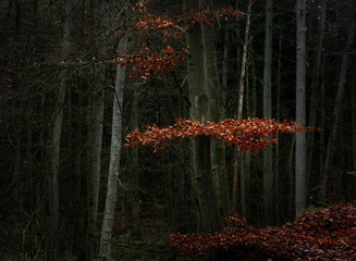red beech leaves between bare trees and trunks in a dark forest, seasonal nature landscape with copy space