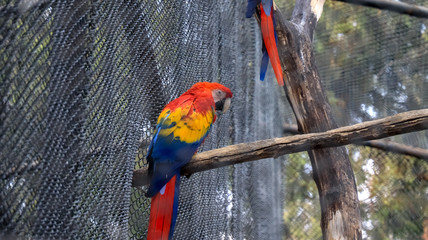 Caged Scarlet macaw bird at a zoo