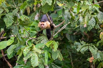 Cebus Capucinus Capucinus -  White-headed capuchin