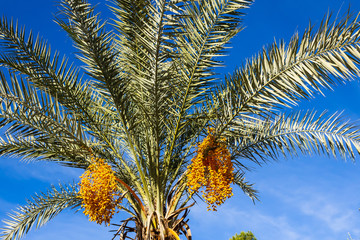 palm tree with yellow fruits