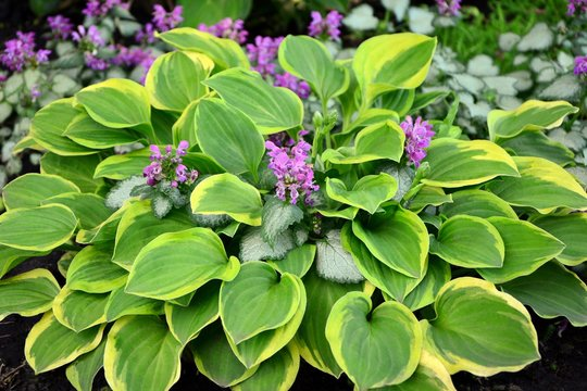 Amazing beauty hosta with green and yellow leaves in the garden close-up.