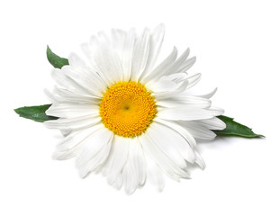 Beautiful chamomile flower