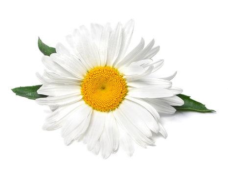 Beautiful chamomile flower