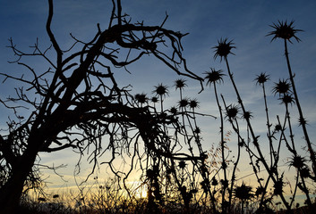 Backlit thistle flowers and dry tree at sunrise with the sky in the background