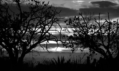 Backlit trees in foreground and cloudy sky in background during the sunrise, monochrome mode