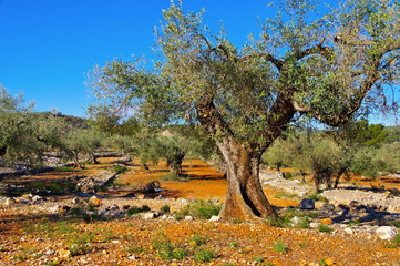 Olivenhain, typische Landschaft in Spanien - olive grove,  typical landscape in Spain