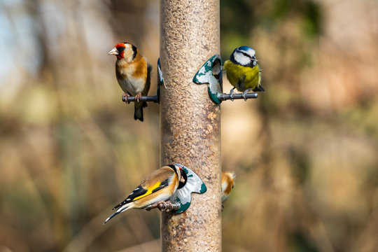 Blue Tit and Goldfinch on a Bird Feeder