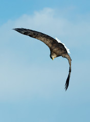 White-tailed eagle in flight.  Blue sky background. Scientific name: Haliaeetus albicilla, also known as the ern, erne, gray eagle, Eurasian sea eagle and white-tailed sea-eagle.