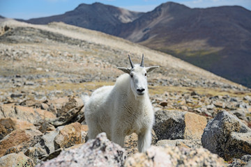 Mountain goat on Square Top Mountain in Colorado