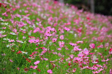 Pink cosmos flower blooming in the field, For background in vintage style soft focus.