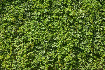 Natural green texture of bright lush ivy foliage. Background pattern of small leaves hedgerow at the garden. Plant picture at the sunny day.