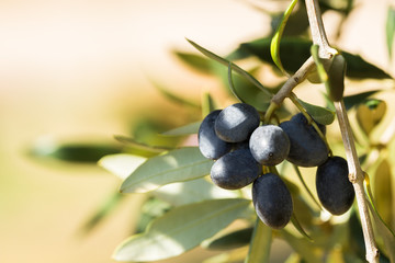Black italian olives on a branch, Avetrana, Apulia, Italy Wall mural