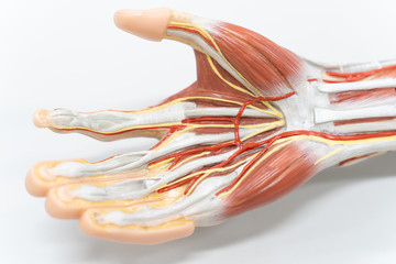 Muscles of the palm hand for anatomy education.
