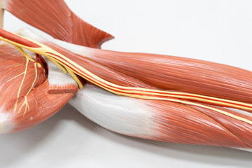 Muscles of the arm for anatomy education.