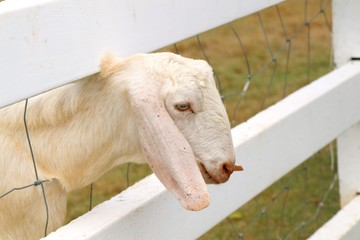 Goat in the zoo