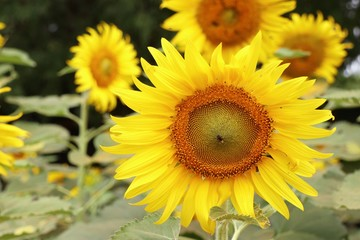 Sunflower field in tropical
