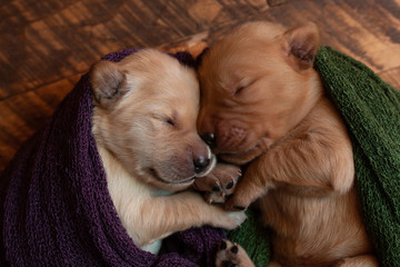 Close-up of cute puppies sleeping in blankets on hardwood floor at home