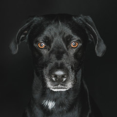 Close-up portrait of Labrador Retriever against black background
