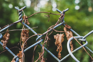 Dear dried morning flory vines on a chain link fence