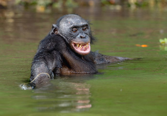 Smiling Bonobo in the water. Natural habitat. The Bonobo ( Pan paniscus), called the pygmy chimpanzee. Democratic Republic of Congo. Africa